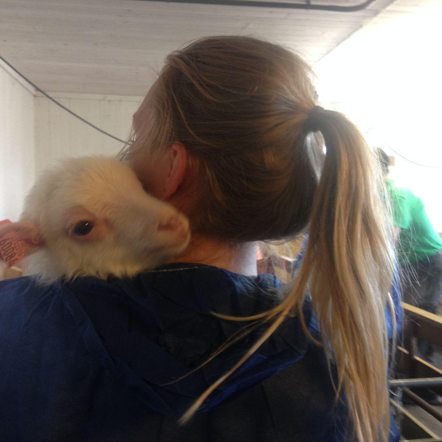 Veterinærhjelp hos produksjonsdyr